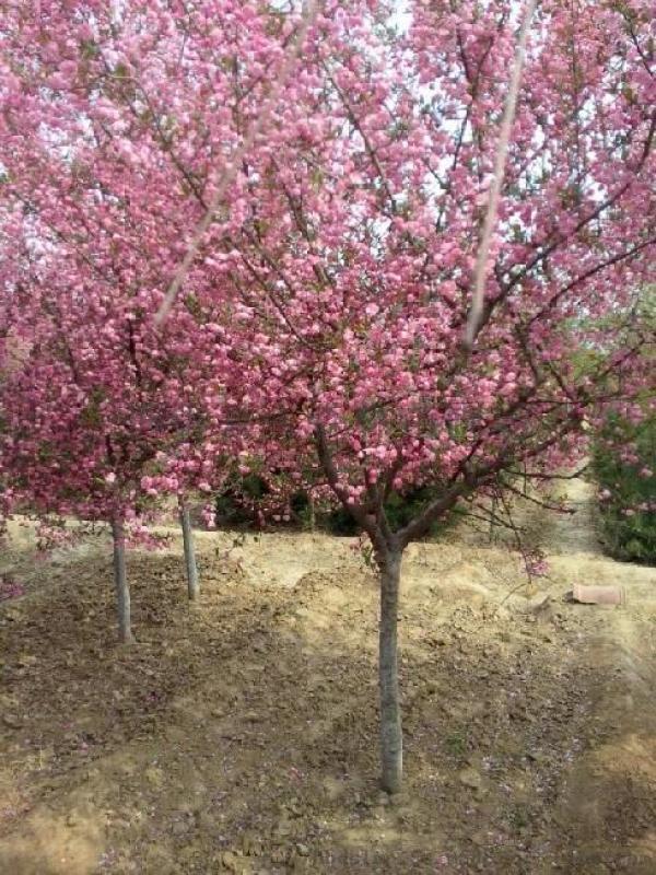 海棠树和苹果树