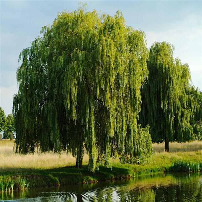 垂柳树苗 黄金柳 金丝垂柳 柳树枝条 垂杨柳树苗垂柳苗竹柳树苗
