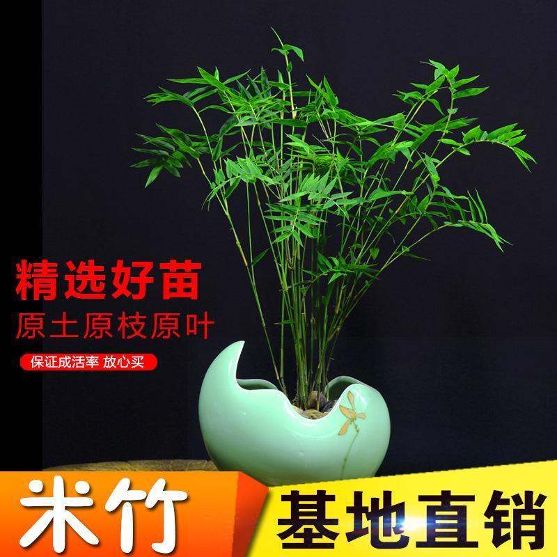 米竹苗盆栽凤尾竹观音竹观赏竹子庭院客厅阳台小型竹子凤尾竹盆景