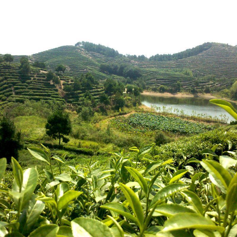 绿茶种子茶种子红花油茶树种子茶树籽绿茶籽四季播种种籽 易成活