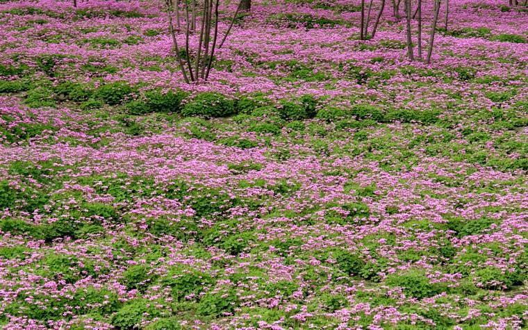 安徽肥西出售毛娟小苗,红花杂酱草,麦冬草,葱兰,小叶女贞,月季