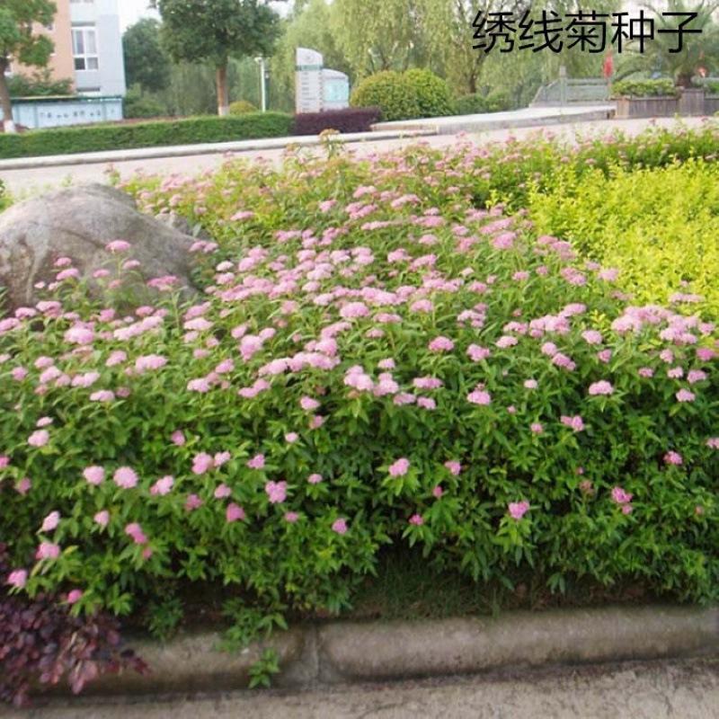 绣线菊种子优质林木种子又名珍珠梅种子马尿骚花种子景观花海批发