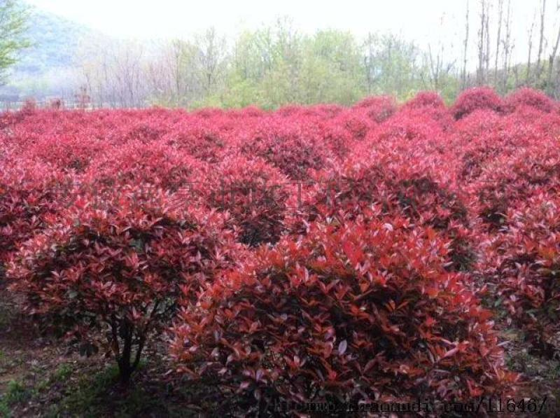 安徽合肥苗圃直销红叶石楠球,海桐球,红花继木球
