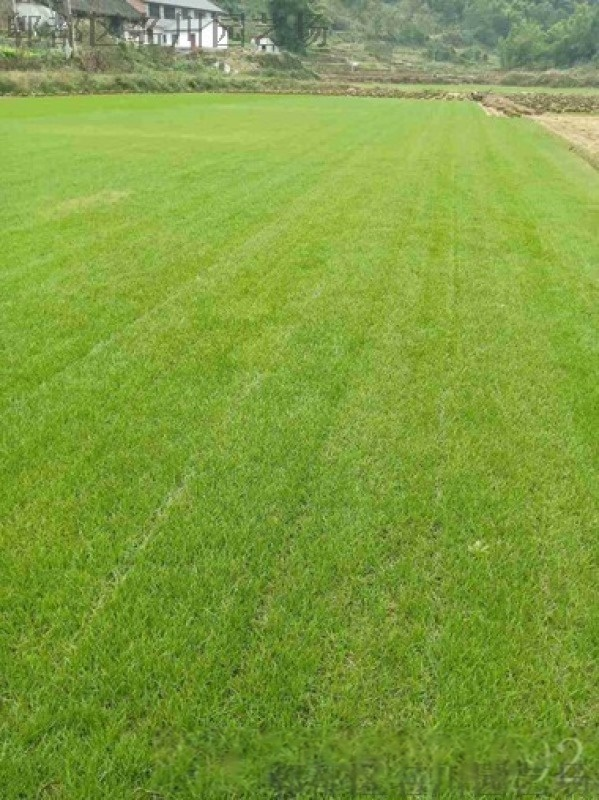 成都草坪基地/百慕大草坪/成都百慕大草坪种植户