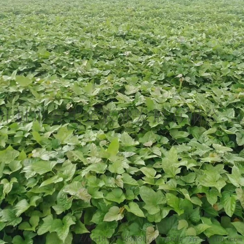 脱毒红薯苗基地-脱毒红薯苗销售