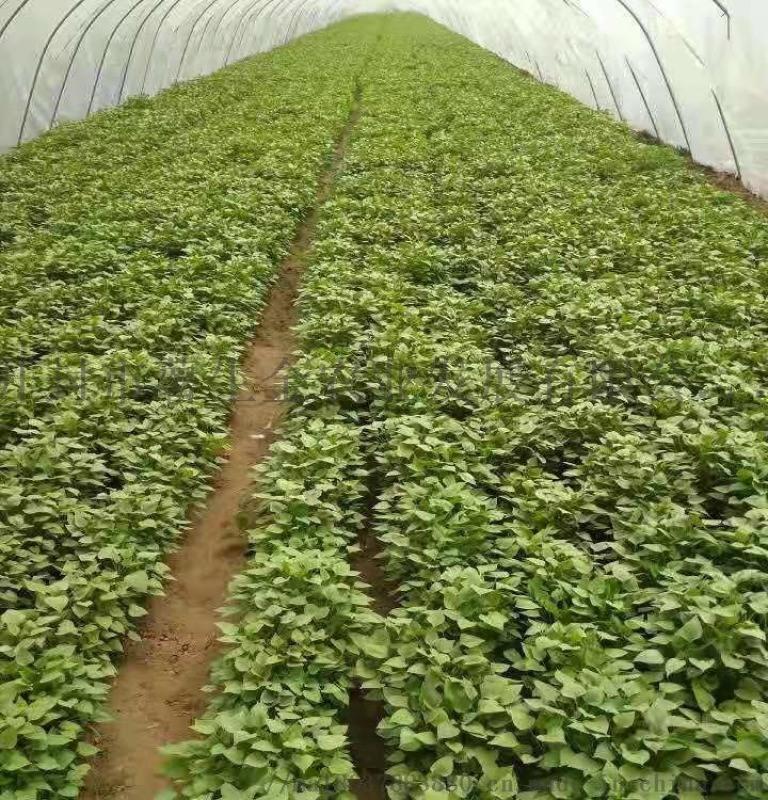 红薯苗供应-高淀粉红薯苗品质优良-量大从优
