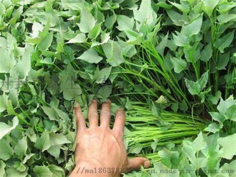 销售脱毒红薯苗优质高产高淀粉红薯苗