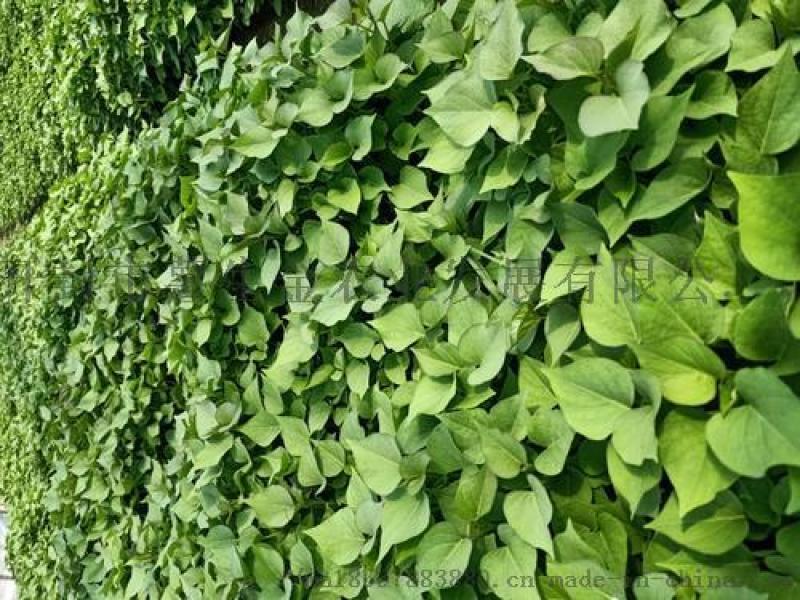红薯苗-脱毒红薯苗种植基地直发