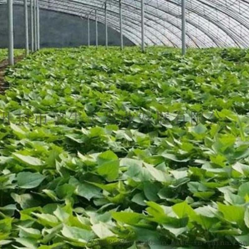 烟薯25红薯苗-高淀粉红薯苗供应