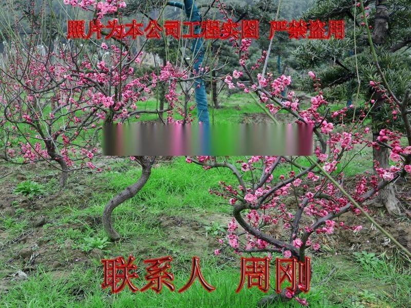 苏州梅花树苗圃基地 造型梅花树 光福香雪海梅花