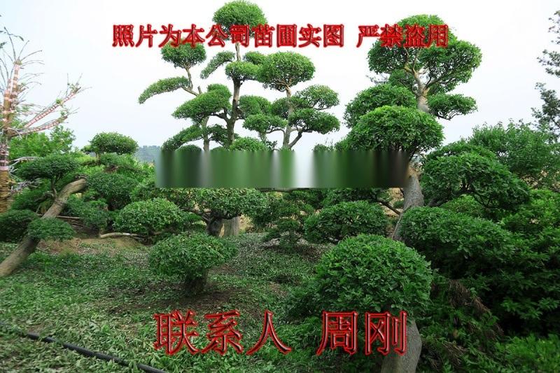 苏州造型榆树 精品造型榔榆 榆树桩盆景 景观树基地