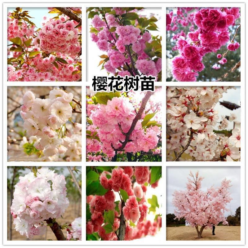 正宗日本樱花树苗樱花小苗南北方庭院地栽盆栽花树园林植物风景树
