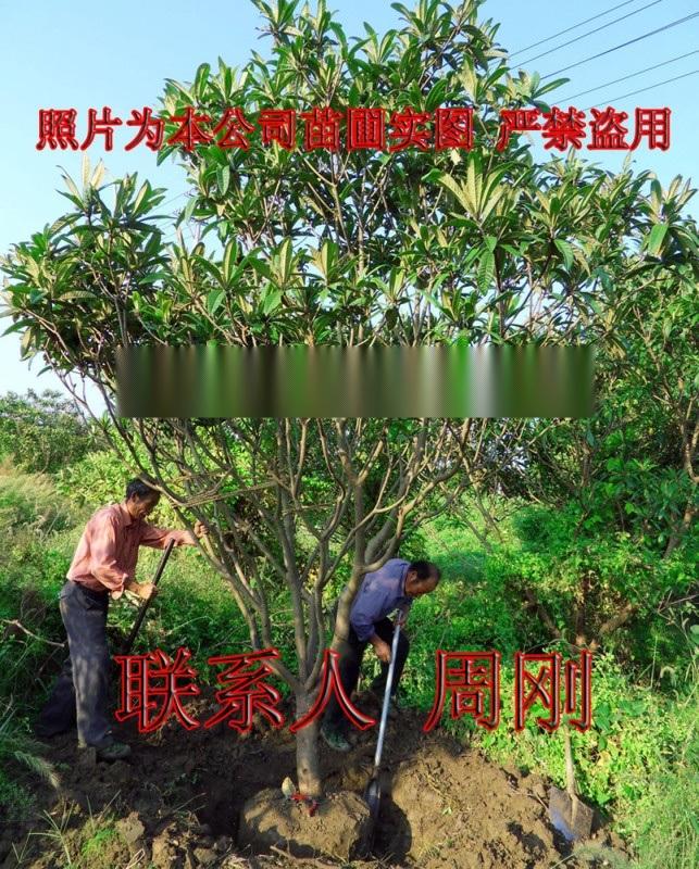 苏州庭院果树基地 白玉枇杷树 柿子 橘子树 桔子