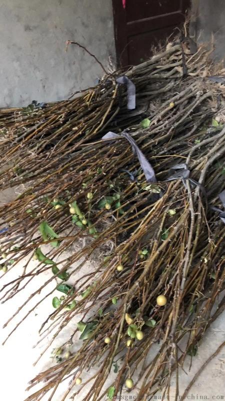 供应结果占地青花梨苗,大中小规格数量20万株