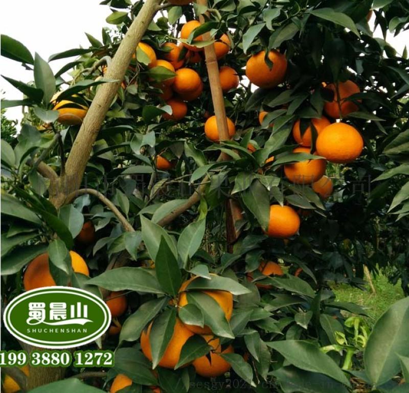 嫁接爱媛柑橘苗,早熟柑橘品种苗,那里有嫁接柑橘苗